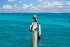 Karibisk pelikan på en strandpol Arkivfoton