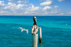 Karibisk pelikan på en strandpol Royaltyfri Fotografi