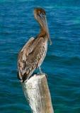 Karibisk pelikan på en strandpol Arkivbild