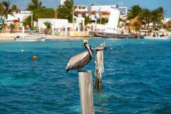 Karibisk pelikan på en strandpol Royaltyfri Bild