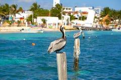 Karibisk pelikan på en strandpol Arkivbilder