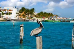 Karibisk pelikan på en strandpol arkivfoto