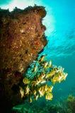 Karibisk Porkfish Arkivfoton