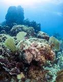 Karibisk revbläckfisk (bläckfiskbriareusen) Arkivbild