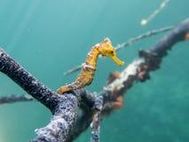 Karibisk Seahorse fotografering för bildbyråer