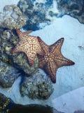 Karibisk sjöstjärna Arkivfoton