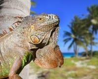karibisk tropisk leguanmexikan för strand Royaltyfri Foto