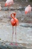 Karibiska flamingo eller karibiska flamingo Arkivbild