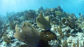 Karibiska havsfans växer på den härliga reven i Belize arkivfilmer
