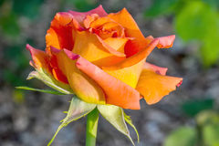 Karibiska orange Rose Flower Profile Royaltyfria Bilder