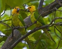 karibiska papegojor Arkivbild