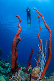 Karibiska svampar och dykare Royaltyfria Foton