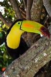 Karibiska Toucan i den Mayan Rivieraen Arkivbilder