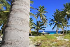 karibiska tropiska kokosnötpalmträd för strand Royaltyfri Foto