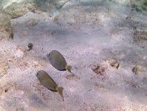 karibiskt dykninghav tropisk fisk Gul surgeonfish för tonåring Fotografering för Bildbyråer