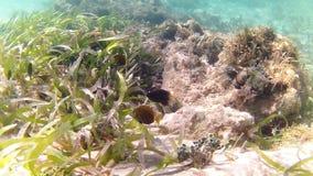 karibiskt dykninghav tropisk fisk Gul surgeonfish för tonåring och gul svanstonåring för ung ogift kvinna Royaltyfri Bild