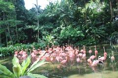 Karibiskt flamingoanseende i vatten med reflexion Singapore En utmärkt illustration Royaltyfri Bild
