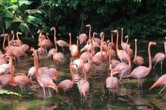 Karibiskt flamingoanseende i vatten med reflexion Singapore En utmärkt illustration Royaltyfri Fotografi