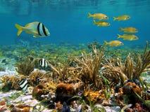 karibiskt havsdjurliv Arkivfoton