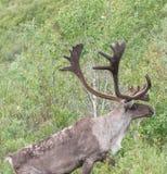 kariboe Royalty-vrije Stock Foto