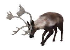 kariboe Stock Afbeeldingen