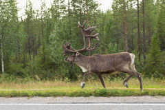 Karibu auf Straße in Finnland Stockfotografie