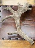 Karibuhorn på kronhjort Arkivfoton