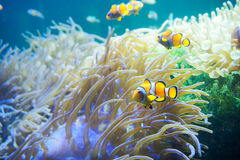 Karikaturfische nähern sich Seeanemone Stockfoto