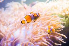 Karikaturfische nähern sich Seeanemone Stockfotos