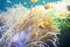Karikaturfische nähern sich Seeanemone Stockfotografie