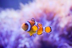 Karikaturfische nähern sich Seeanemone Stockbilder