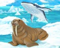 Karikaturszene - arktische Tiere - Walroß Stockbilder
