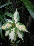 Karikatuurinstallatie (Graptophyllum-pictum) Royalty-vrije Stock Foto