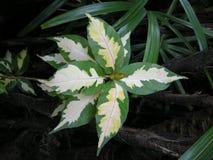 Karikatuurinstallatie (Graptophyllum-pictum) Royalty-vrije Stock Foto's