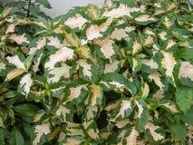 Karikatuurinstallatie (Graptophyllum-pictum) Royalty-vrije Stock Afbeeldingen