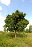 karit drzewo Obrazy Royalty Free