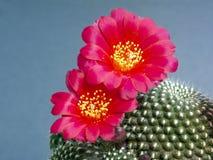Kariusiana de floraison de Rebutia de cactus. Photographie stock libre de droits