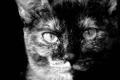 Karka the Cat. I found her on the street when she was 4 weeks old.  She is one year old now Royalty Free Stock Photography