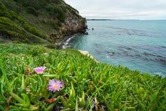 Karkalla, Carpobrotus rossii, or pig face. Succulent coastal groundcover plant Royalty Free Stock Photo