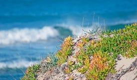 Karkalla by the sea. Karkalla by the Platamona sea, Sardinia Stock Image