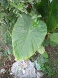 KARKALO GAAVA PIDHAALU, Β όνομα  anticuorum colocasia, κοινά ονόματα  Calocasia, Taro φύλλο, patta Arbi Στοκ Φωτογραφία