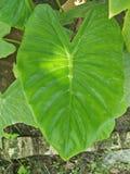 KARKALO GAAVA PIDHAALU, Β όνομα  anticuorum colocasia, κοινά ονόματα  Calocasia, Taro φύλλο, patta Arbi Στοκ εικόνες με δικαίωμα ελεύθερης χρήσης