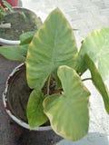 KARKALO GAAVA PIDHAALU, Β όνομα  anticuorum colocasia, κοινά ονόματα  Calocasia, Taro φύλλο, patta Arbi Στοκ φωτογραφίες με δικαίωμα ελεύθερης χρήσης