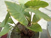 KARKALO GAAVA PIDHAALU, Β όνομα  anticuorum colocasia, κοινά ονόματα  Calocasia, Taro φύλλο, patta Arbi Στοκ Εικόνα