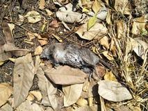 Karkas een rat stock afbeeldingen