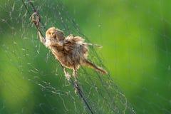 Karkas van dode mus bij vogel netto opsluiten stock foto