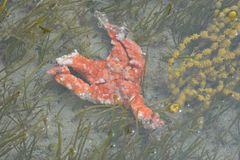 Karkas van oranje overzeese ster royalty-vrije stock afbeelding