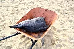 Karkasse des Segelfisches Stockfoto