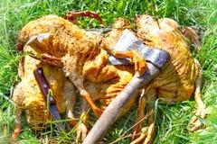 Karkassen van het dode eenden geplukte huislandbouwbedrijf liggen op het gras en Stock Foto