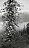 Dead tree in the mountains. Karkonosze, Poland. In the Karkonosze on the Polish side, the trees die from the poisoned industry from the factory on the Czech side Royalty Free Stock Images